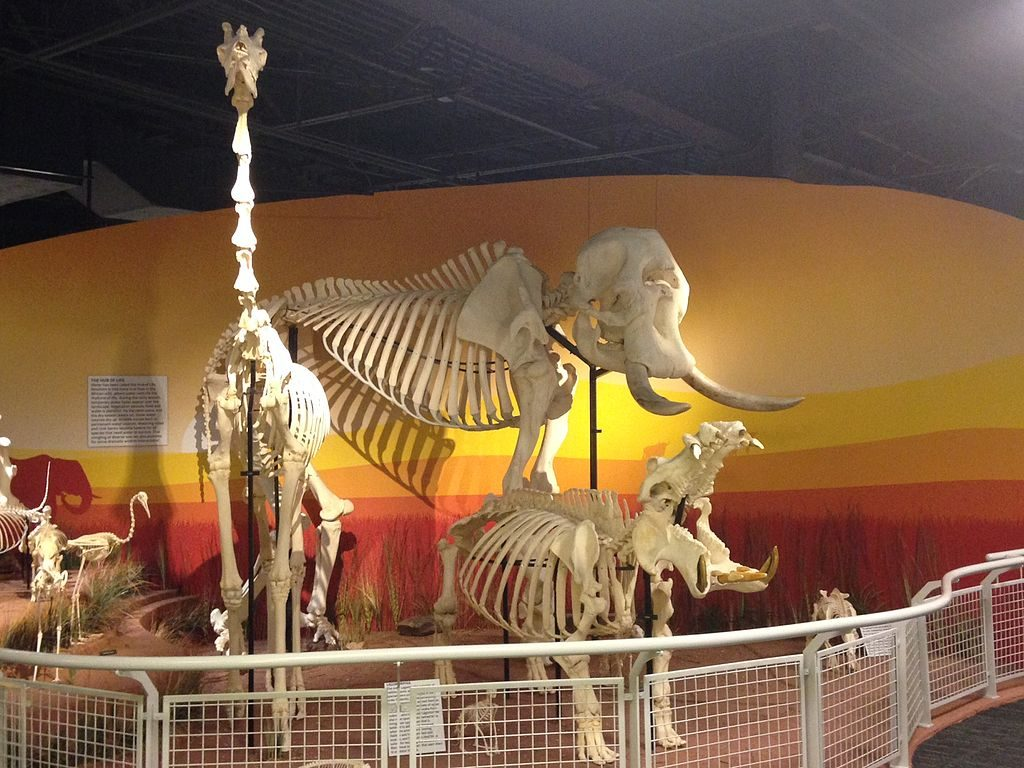 """""""Skeletons: Animals Unveiled"""" by JimJones1971 is licensed under Wikimedia Commons"""